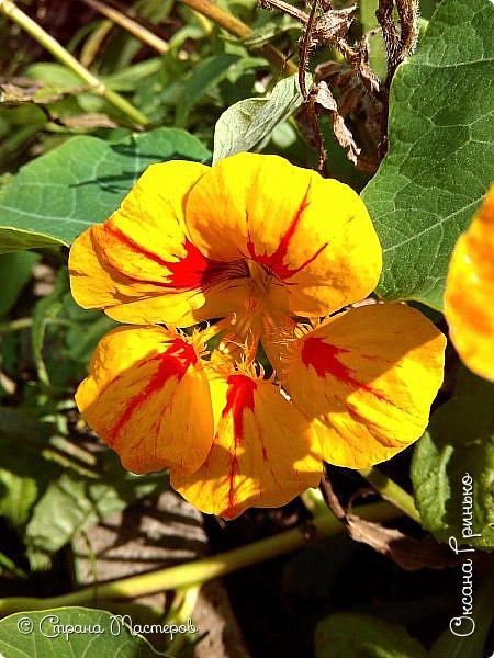 Добрый день Всем. Вот такие неприхотливые цветочки расцвели и радуют взгляд. фото 1