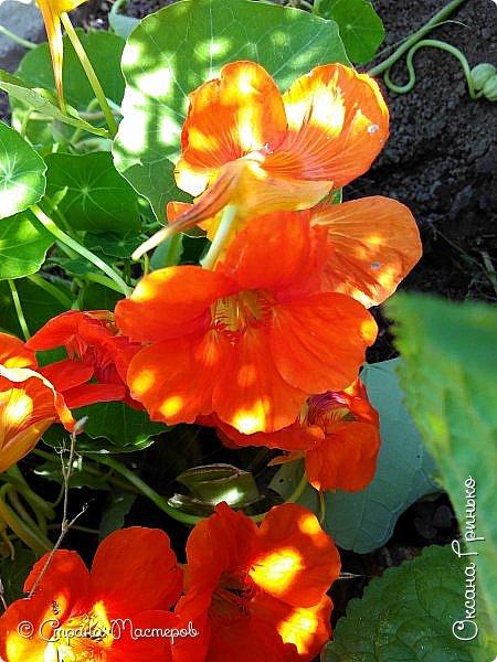Добрый день Всем. Вот такие неприхотливые цветочки расцвели и радуют взгляд. фото 2