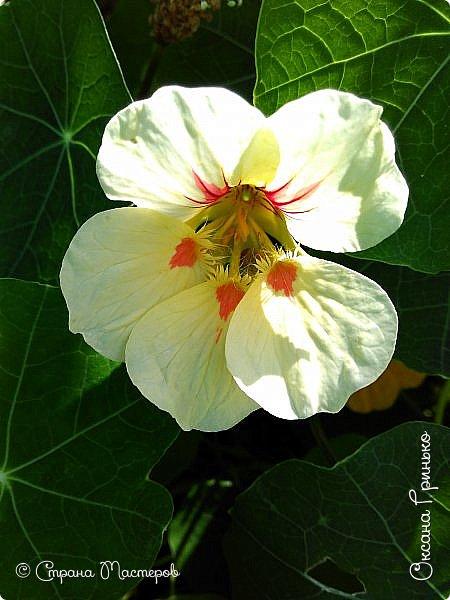 Добрый день Всем. Вот такие неприхотливые цветочки расцвели и радуют взгляд. фото 4