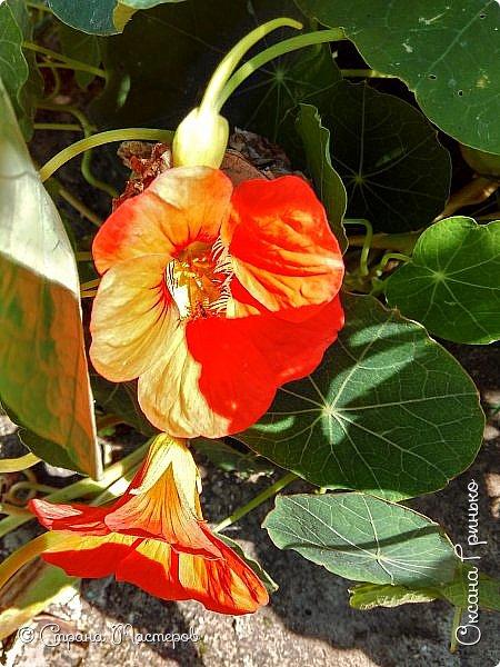 Добрый день Всем. Вот такие неприхотливые цветочки расцвели и радуют взгляд. фото 5