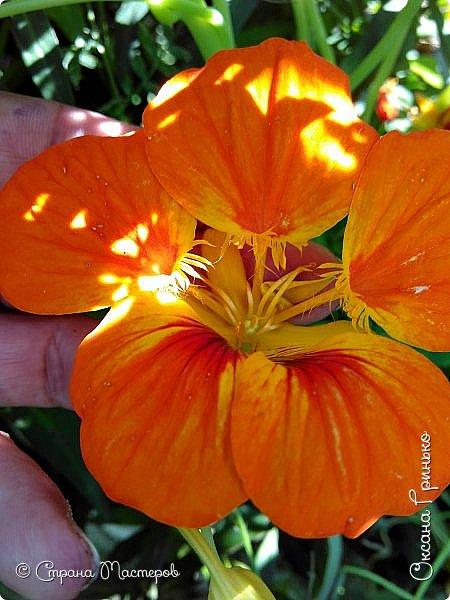 Добрый день Всем. Вот такие неприхотливые цветочки расцвели и радуют взгляд. фото 6