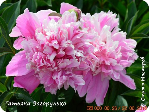 А вот с этого и начнем! ))) Тазики - ведра - тазики - ведра.... Это июль! Это клубника! )))  фото 17