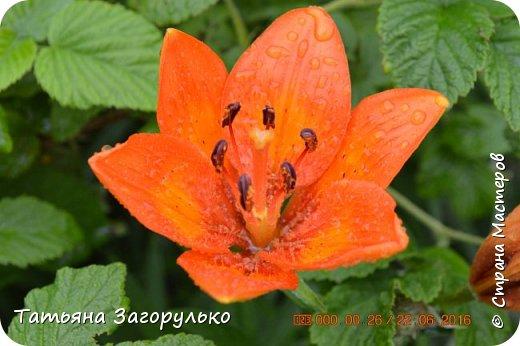 А вот с этого и начнем! ))) Тазики - ведра - тазики - ведра.... Это июль! Это клубника! )))  фото 25