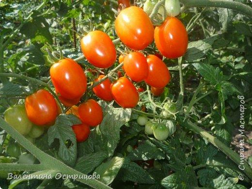 Добрый  день  или  вечер , дорогие  мастера  и  мастерицы  нашей  прекрасной  СМ  !!  И , как  продолжение  летних  даров  , хочу  показать  наши  овощи, фрукты  и  другие  плоды , которые  нам  подарило  это  лето .  Вверху  снимка  -  круглые , не  совсем  обычные , баклажаны .   Внизу  снимка -  некоторые  сорта  томатов . фото 5