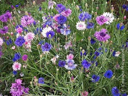 Всем моим гостям хорошего настроения! Хочу вам его, хорошего настроения, добавить. Сейчас, в конце лета, хочу показать вам свои цветники.  Что-то уже было  в моих записях. Но так хочется похвалиться тем, что сделано. Те, кто любит дачи с асфальтированными дорожками, коллекционными цветами  и красивыми садовыми фигурками, должны остановиться здесь и не смотреть  дальше. Я показываю обычный деревенский двор, с белёным домом, старыми хозяйственными постройками и самыми обычными цветами. Хочу, чтобы мои гости посмотрели, что и огромный старый деревенский двор можно сделать красивым. фото 22