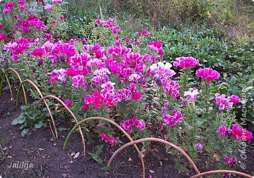 Всем моим гостям хорошего настроения! Хочу вам его, хорошего настроения, добавить. Сейчас, в конце лета, хочу показать вам свои цветники.  Что-то уже было  в моих записях. Но так хочется похвалиться тем, что сделано. Те, кто любит дачи с асфальтированными дорожками, коллекционными цветами  и красивыми садовыми фигурками, должны остановиться здесь и не смотреть  дальше. Я показываю обычный деревенский двор, с белёным домом, старыми хозяйственными постройками и самыми обычными цветами. Хочу, чтобы мои гости посмотрели, что и огромный старый деревенский двор можно сделать красивым. фото 24
