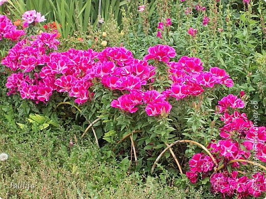 Всем моим гостям хорошего настроения! Хочу вам его, хорошего настроения, добавить. Сейчас, в конце лета, хочу показать вам свои цветники.  Что-то уже было  в моих записях. Но так хочется похвалиться тем, что сделано. Те, кто любит дачи с асфальтированными дорожками, коллекционными цветами  и красивыми садовыми фигурками, должны остановиться здесь и не смотреть  дальше. Я показываю обычный деревенский двор, с белёным домом, старыми хозяйственными постройками и самыми обычными цветами. Хочу, чтобы мои гости посмотрели, что и огромный старый деревенский двор можно сделать красивым. фото 25