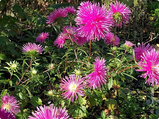 Всем моим гостям хорошего настроения! Хочу вам его, хорошего настроения, добавить. Сейчас, в конце лета, хочу показать вам свои цветники.  Что-то уже было  в моих записях. Но так хочется похвалиться тем, что сделано. Те, кто любит дачи с асфальтированными дорожками, коллекционными цветами  и красивыми садовыми фигурками, должны остановиться здесь и не смотреть  дальше. Я показываю обычный деревенский двор, с белёным домом, старыми хозяйственными постройками и самыми обычными цветами. Хочу, чтобы мои гости посмотрели, что и огромный старый деревенский двор можно сделать красивым. фото 28