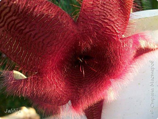 """«Самые прекрасные, самые чудовищные цветы» - это слова великого Гёте об этом удивительном цветке  - стапелии. И я стала обладательницей  такого цветка ровно год назад, уважаемые мои гости. Конечно, я понятия не имела о стапелии, когда мне его """"подкинули"""", в связи с тем, что """"сидит,  не растёт, не цветёт"""". Мне доставляет большое удовольствие реанимировать цветы. Это всегда трудоёмко, но ради результата стоит повозиться. фото 20"""