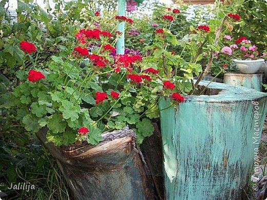 Всем моим гостям хорошего настроения! Хочу вам его, хорошего настроения, добавить. Сейчас, в конце лета, хочу показать вам свои цветники.  Что-то уже было  в моих записях. Но так хочется похвалиться тем, что сделано. Те, кто любит дачи с асфальтированными дорожками, коллекционными цветами  и красивыми садовыми фигурками, должны остановиться здесь и не смотреть  дальше. Я показываю обычный деревенский двор, с белёным домом, старыми хозяйственными постройками и самыми обычными цветами. Хочу, чтобы мои гости посмотрели, что и огромный старый деревенский двор можно сделать красивым. фото 38