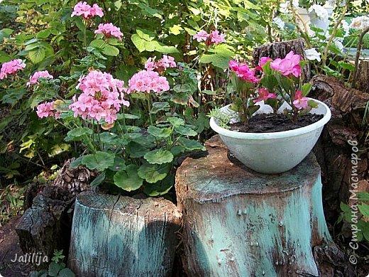 Всем моим гостям хорошего настроения! Хочу вам его, хорошего настроения, добавить. Сейчас, в конце лета, хочу показать вам свои цветники.  Что-то уже было  в моих записях. Но так хочется похвалиться тем, что сделано. Те, кто любит дачи с асфальтированными дорожками, коллекционными цветами  и красивыми садовыми фигурками, должны остановиться здесь и не смотреть  дальше. Я показываю обычный деревенский двор, с белёным домом, старыми хозяйственными постройками и самыми обычными цветами. Хочу, чтобы мои гости посмотрели, что и огромный старый деревенский двор можно сделать красивым. фото 40
