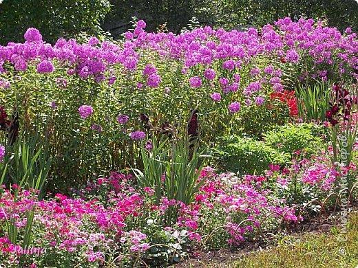 Всем моим гостям хорошего настроения! Хочу вам его, хорошего настроения, добавить. Сейчас, в конце лета, хочу показать вам свои цветники.  Что-то уже было  в моих записях. Но так хочется похвалиться тем, что сделано. Те, кто любит дачи с асфальтированными дорожками, коллекционными цветами  и красивыми садовыми фигурками, должны остановиться здесь и не смотреть  дальше. Я показываю обычный деревенский двор, с белёным домом, старыми хозяйственными постройками и самыми обычными цветами. Хочу, чтобы мои гости посмотрели, что и огромный старый деревенский двор можно сделать красивым. фото 4