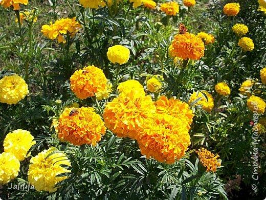 Всем моим гостям хорошего настроения! Хочу вам его, хорошего настроения, добавить. Сейчас, в конце лета, хочу показать вам свои цветники.  Что-то уже было  в моих записях. Но так хочется похвалиться тем, что сделано. Те, кто любит дачи с асфальтированными дорожками, коллекционными цветами  и красивыми садовыми фигурками, должны остановиться здесь и не смотреть  дальше. Я показываю обычный деревенский двор, с белёным домом, старыми хозяйственными постройками и самыми обычными цветами. Хочу, чтобы мои гости посмотрели, что и огромный старый деревенский двор можно сделать красивым. фото 48