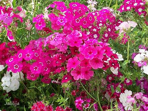 Всем моим гостям хорошего настроения! Хочу вам его, хорошего настроения, добавить. Сейчас, в конце лета, хочу показать вам свои цветники.  Что-то уже было  в моих записях. Но так хочется похвалиться тем, что сделано. Те, кто любит дачи с асфальтированными дорожками, коллекционными цветами  и красивыми садовыми фигурками, должны остановиться здесь и не смотреть  дальше. Я показываю обычный деревенский двор, с белёным домом, старыми хозяйственными постройками и самыми обычными цветами. Хочу, чтобы мои гости посмотрели, что и огромный старый деревенский двор можно сделать красивым. фото 5