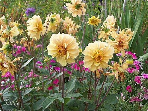Всем моим гостям хорошего настроения! Хочу вам его, хорошего настроения, добавить. Сейчас, в конце лета, хочу показать вам свои цветники.  Что-то уже было  в моих записях. Но так хочется похвалиться тем, что сделано. Те, кто любит дачи с асфальтированными дорожками, коллекционными цветами  и красивыми садовыми фигурками, должны остановиться здесь и не смотреть  дальше. Я показываю обычный деревенский двор, с белёным домом, старыми хозяйственными постройками и самыми обычными цветами. Хочу, чтобы мои гости посмотрели, что и огромный старый деревенский двор можно сделать красивым. фото 7