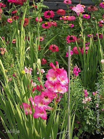 Всем моим гостям хорошего настроения! Хочу вам его, хорошего настроения, добавить. Сейчас, в конце лета, хочу показать вам свои цветники.  Что-то уже было  в моих записях. Но так хочется похвалиться тем, что сделано. Те, кто любит дачи с асфальтированными дорожками, коллекционными цветами  и красивыми садовыми фигурками, должны остановиться здесь и не смотреть  дальше. Я показываю обычный деревенский двор, с белёным домом, старыми хозяйственными постройками и самыми обычными цветами. Хочу, чтобы мои гости посмотрели, что и огромный старый деревенский двор можно сделать красивым. фото 65