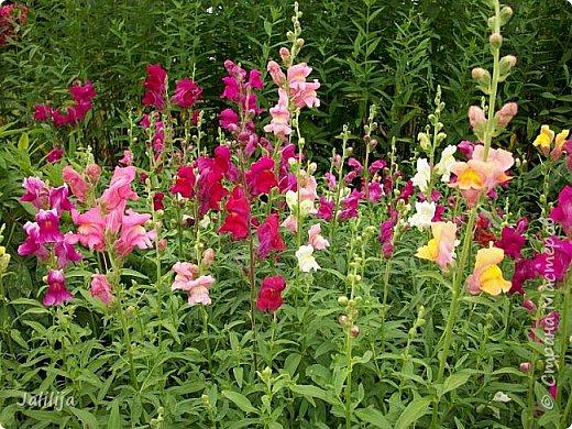 Всем моим гостям хорошего настроения! Хочу вам его, хорошего настроения, добавить. Сейчас, в конце лета, хочу показать вам свои цветники.  Что-то уже было  в моих записях. Но так хочется похвалиться тем, что сделано. Те, кто любит дачи с асфальтированными дорожками, коллекционными цветами  и красивыми садовыми фигурками, должны остановиться здесь и не смотреть  дальше. Я показываю обычный деревенский двор, с белёным домом, старыми хозяйственными постройками и самыми обычными цветами. Хочу, чтобы мои гости посмотрели, что и огромный старый деревенский двор можно сделать красивым. фото 12