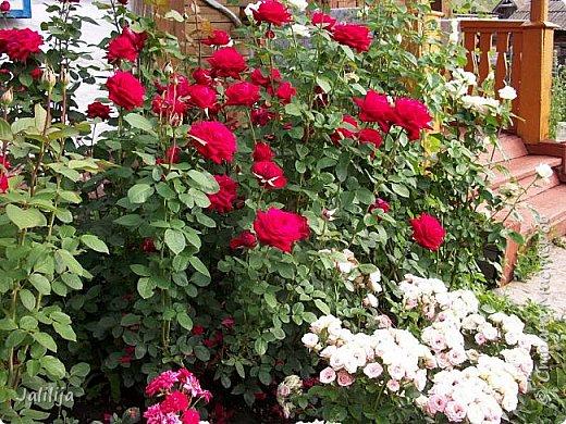 Всем моим гостям хорошего настроения! Хочу вам его, хорошего настроения, добавить. Сейчас, в конце лета, хочу показать вам свои цветники.  Что-то уже было  в моих записях. Но так хочется похвалиться тем, что сделано. Те, кто любит дачи с асфальтированными дорожками, коллекционными цветами  и красивыми садовыми фигурками, должны остановиться здесь и не смотреть  дальше. Я показываю обычный деревенский двор, с белёным домом, старыми хозяйственными постройками и самыми обычными цветами. Хочу, чтобы мои гости посмотрели, что и огромный старый деревенский двор можно сделать красивым. фото 14
