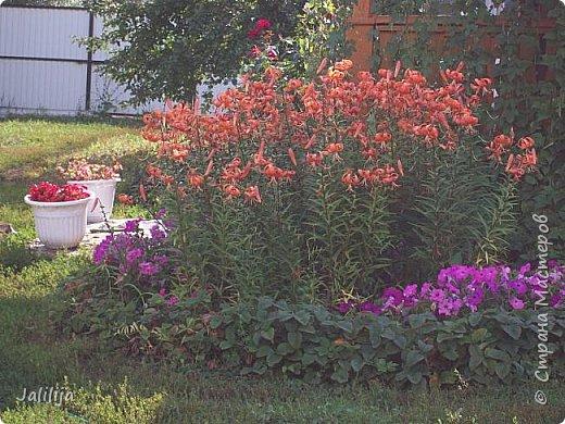 Всем моим гостям хорошего настроения! Хочу вам его, хорошего настроения, добавить. Сейчас, в конце лета, хочу показать вам свои цветники.  Что-то уже было  в моих записях. Но так хочется похвалиться тем, что сделано. Те, кто любит дачи с асфальтированными дорожками, коллекционными цветами  и красивыми садовыми фигурками, должны остановиться здесь и не смотреть  дальше. Я показываю обычный деревенский двор, с белёным домом, старыми хозяйственными постройками и самыми обычными цветами. Хочу, чтобы мои гости посмотрели, что и огромный старый деревенский двор можно сделать красивым. фото 15