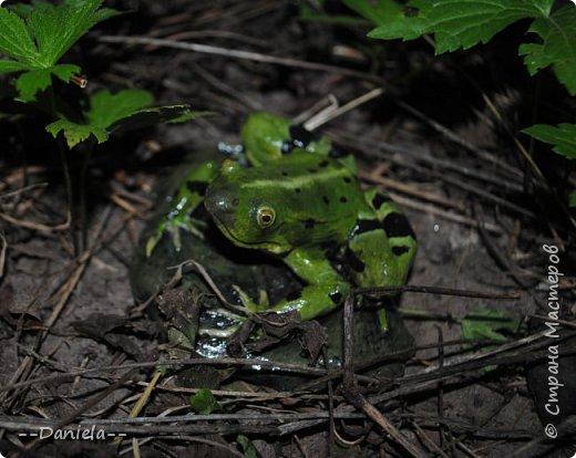 Очень давно планировала замахнуться на лягушку, но все как-то было не до того... На днях собралась с мыслями и вылепила вот эту, как по мне, красавицу... фото 6