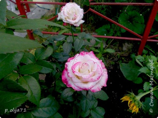 Здравствуйте!!!  Каждое время года хорошо по-своему.. Лето радует нас пестротой, разнообразием красок.. Вот я и любуюсь,любуюсь и любуюсь!..))) Хочу и с вами поделиться частичкой красоты,которую нам дарит природа!  Спасибо ей! фото 44