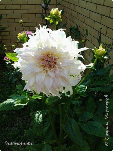 Доброго времени суток дорогие жители СМ. Хочется поделится красотой которая растет в моем пока еще маленьком саду :-) Начну со своих любимчиков , красавиц и королев сада георгин . Это героина макси, моя любимая. А посередине мой главный младший цветочек :-) и по совместительству главный цветовод :-) фото 2