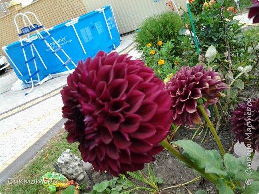 Доброго времени суток дорогие жители СМ. Хочется поделится красотой которая растет в моем пока еще маленьком саду :-) Начну со своих любимчиков , красавиц и королев сада георгин . Это героина макси, моя любимая. А посередине мой главный младший цветочек :-) и по совместительству главный цветовод :-) фото 8