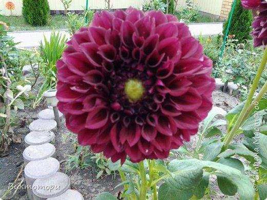 Доброго времени суток дорогие жители СМ. Хочется поделится красотой которая растет в моем пока еще маленьком саду :-) Начну со своих любимчиков , красавиц и королев сада георгин . Это героина макси, моя любимая. А посередине мой главный младший цветочек :-) и по совместительству главный цветовод :-) фото 9