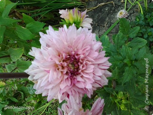 Доброго времени суток дорогие жители СМ. Хочется поделится красотой которая растет в моем пока еще маленьком саду :-) Начну со своих любимчиков , красавиц и королев сада георгин . Это героина макси, моя любимая. А посередине мой главный младший цветочек :-) и по совместительству главный цветовод :-) фото 12