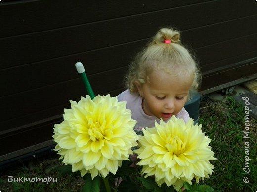 Доброго времени суток дорогие жители СМ. Хочется поделится красотой которая растет в моем пока еще маленьком саду :-) Начну со своих любимчиков , красавиц и королев сада георгин . Это героина макси, моя любимая. А посередине мой главный младший цветочек :-) и по совместительству главный цветовод :-) фото 1