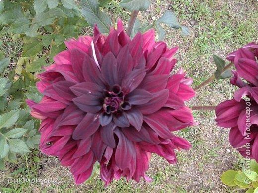 Доброго времени суток дорогие жители СМ. Хочется поделится красотой которая растет в моем пока еще маленьком саду :-) Начну со своих любимчиков , красавиц и королев сада георгин . Это героина макси, моя любимая. А посередине мой главный младший цветочек :-) и по совместительству главный цветовод :-) фото 6