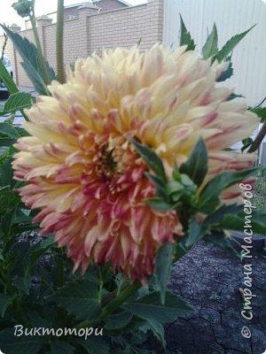 Доброго времени суток дорогие жители СМ. Хочется поделится красотой которая растет в моем пока еще маленьком саду :-) Начну со своих любимчиков , красавиц и королев сада георгин . Это героина макси, моя любимая. А посередине мой главный младший цветочек :-) и по совместительству главный цветовод :-) фото 14