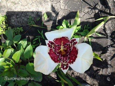 Доброго времени суток дорогие жители СМ. Хочется поделится красотой которая растет в моем пока еще маленьком саду :-) Начну со своих любимчиков , красавиц и королев сада георгин . Это героина макси, моя любимая. А посередине мой главный младший цветочек :-) и по совместительству главный цветовод :-) фото 23