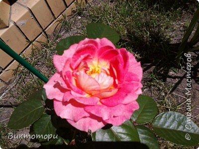 Доброго времени суток дорогие жители СМ. Хочется поделится красотой которая растет в моем пока еще маленьком саду :-) Начну со своих любимчиков , красавиц и королев сада георгин . Это героина макси, моя любимая. А посередине мой главный младший цветочек :-) и по совместительству главный цветовод :-) фото 27