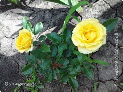 Доброго времени суток дорогие жители СМ. Хочется поделится красотой которая растет в моем пока еще маленьком саду :-) Начну со своих любимчиков , красавиц и королев сада георгин . Это героина макси, моя любимая. А посередине мой главный младший цветочек :-) и по совместительству главный цветовод :-) фото 25