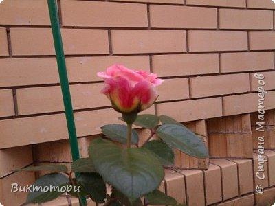Доброго времени суток дорогие жители СМ. Хочется поделится красотой которая растет в моем пока еще маленьком саду :-) Начну со своих любимчиков , красавиц и королев сада георгин . Это героина макси, моя любимая. А посередине мой главный младший цветочек :-) и по совместительству главный цветовод :-) фото 26