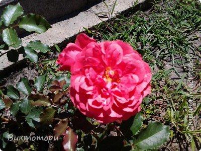 Доброго времени суток дорогие жители СМ. Хочется поделится красотой которая растет в моем пока еще маленьком саду :-) Начну со своих любимчиков , красавиц и королев сада георгин . Это героина макси, моя любимая. А посередине мой главный младший цветочек :-) и по совместительству главный цветовод :-) фото 28