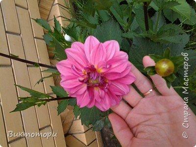Доброго времени суток дорогие жители СМ. Хочется поделится красотой которая растет в моем пока еще маленьком саду :-) Начну со своих любимчиков , красавиц и королев сада георгин . Это героина макси, моя любимая. А посередине мой главный младший цветочек :-) и по совместительству главный цветовод :-) фото 15