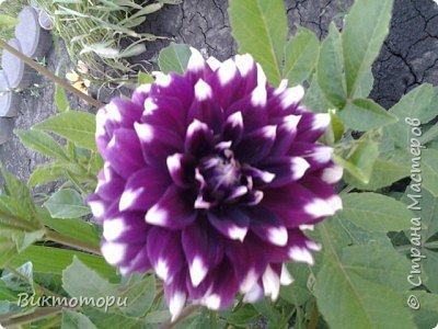 Доброго времени суток дорогие жители СМ. Хочется поделится красотой которая растет в моем пока еще маленьком саду :-) Начну со своих любимчиков , красавиц и королев сада георгин . Это героина макси, моя любимая. А посередине мой главный младший цветочек :-) и по совместительству главный цветовод :-) фото 13