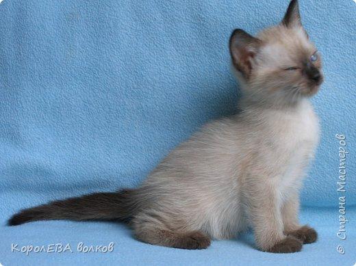 Здравствуйте! Хочу рассказать вам про мою любимую кошку. Её зовут Моника. Сегодня ей исполняется 9 лет, поэтому в честь дня рождения такой блог. Вот таким очаровательным котёнком попала Моня к нам в дом. Она с детства любила кататься в коляске как все маленькие дети. фото 11