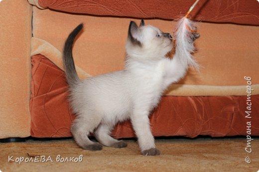 Здравствуйте! Хочу рассказать вам про мою любимую кошку. Её зовут Моника. Сегодня ей исполняется 9 лет, поэтому в честь дня рождения такой блог. Вот таким очаровательным котёнком попала Моня к нам в дом. Она с детства любила кататься в коляске как все маленькие дети. фото 15