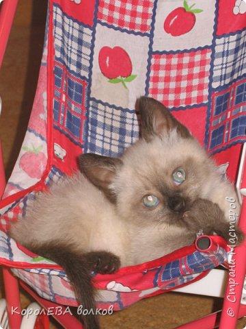 Здравствуйте! Хочу рассказать вам про мою любимую кошку. Её зовут Моника. Сегодня ей исполняется 9 лет, поэтому в честь дня рождения такой блог. Вот таким очаровательным котёнком попала Моня к нам в дом. Она с детства любила кататься в коляске как все маленькие дети. фото 1