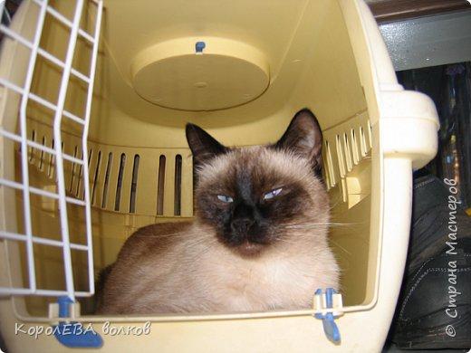 Здравствуйте! Хочу рассказать вам про мою любимую кошку. Её зовут Моника. Сегодня ей исполняется 9 лет, поэтому в честь дня рождения такой блог. Вот таким очаровательным котёнком попала Моня к нам в дом. Она с детства любила кататься в коляске как все маленькие дети. фото 5