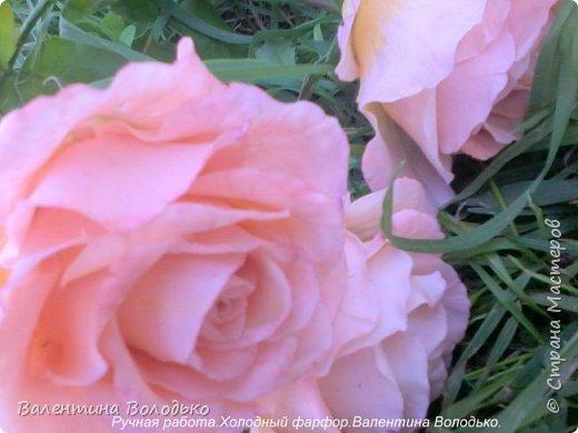 Добрый день мастера и мастерицы!!!!У меня новые розы!!!! фото 3