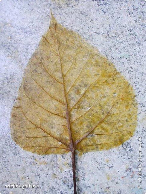 Скелетирование листьев Для скелетирования листьев необходимо. Посуда для кипячения листьев, мне удобнее всего была стекляная. Стекляная доска 2 губки: мягкая и жёсткая порошок  «Rohrfrei» бумага для выпечки перчатки листья фото 3