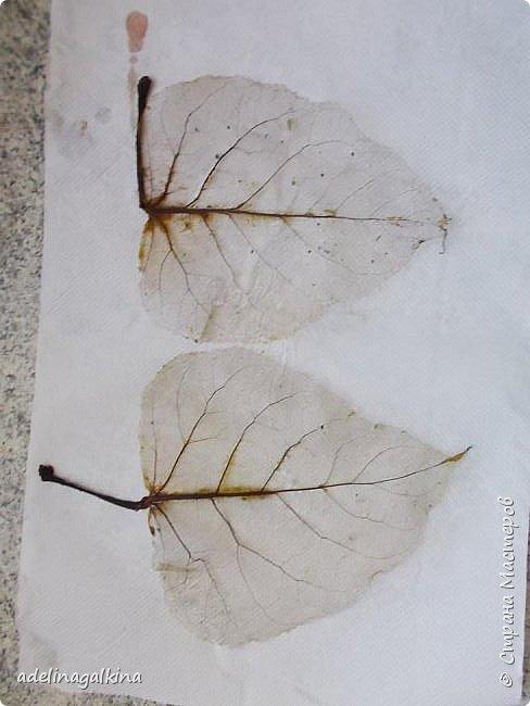 Скелетирование листьев Для скелетирования листьев необходимо. Посуда для кипячения листьев, мне удобнее всего была стекляная. Стекляная доска 2 губки: мягкая и жёсткая порошок  «Rohrfrei» бумага для выпечки перчатки листья фото 6