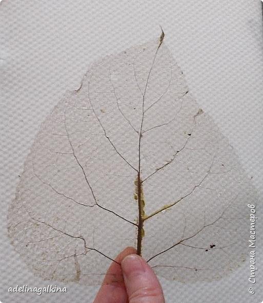 Скелетирование листьев Для скелетирования листьев необходимо. Посуда для кипячения листьев, мне удобнее всего была стекляная. Стекляная доска 2 губки: мягкая и жёсткая порошок  «Rohrfrei» бумага для выпечки перчатки листья фото 7