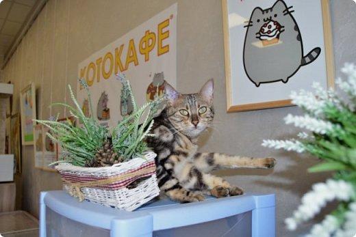 """Здравствуйте, дорогие друзья!!! Приглашаю всех любителей котов и кошек на экскурсию в необычный кошачий музей, который находится в центре Минска. Музей Кота - уникальное в своём роде культурно-развлекательное место, где живёт, пожалуй, самое милое произведение искусства, созданное матушкой-природой. Главные """"экспонаты"""" музея - это живые коты и кошки!!! фото 5"""