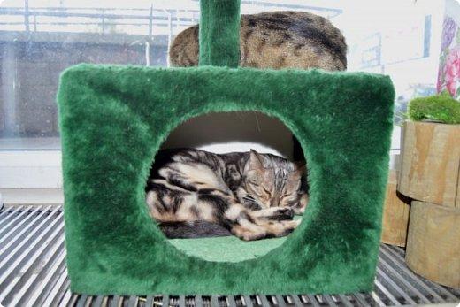 """Здравствуйте, дорогие друзья!!! Приглашаю всех любителей котов и кошек на экскурсию в необычный кошачий музей, который находится в центре Минска. Музей Кота - уникальное в своём роде культурно-развлекательное место, где живёт, пожалуй, самое милое произведение искусства, созданное матушкой-природой. Главные """"экспонаты"""" музея - это живые коты и кошки!!! фото 15"""