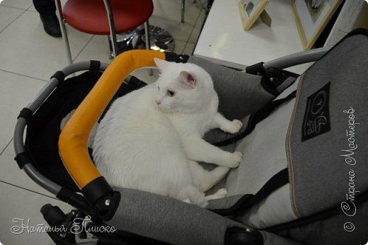 """Здравствуйте, дорогие друзья!!! Приглашаю всех любителей котов и кошек на экскурсию в необычный кошачий музей, который находится в центре Минска. Музей Кота - уникальное в своём роде культурно-развлекательное место, где живёт, пожалуй, самое милое произведение искусства, созданное матушкой-природой. Главные """"экспонаты"""" музея - это живые коты и кошки!!! фото 86"""